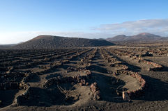 The volcanic vineyard, Lanzarote, Canarian Islands. Royalty Free Stock Photography