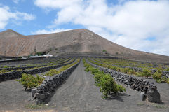 Volcanic Vineyard Stock Image