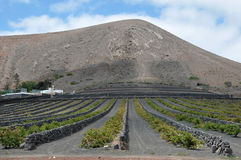 Volcanic Vineyard Royalty Free Stock Photo