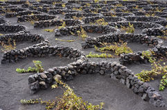 Volcanic vineyard. Volcanic soil wineyard with plants protected by stone walls characteristic of Lanzarote island stock images