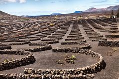 Volcanic vineyards of Lanzarote Royalty Free Stock Images
