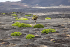 Volcanic wineyard area La Geria in Lanzarote Stock Photos