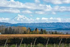 Volcano Aconcagua Cordillera and Vineyard in the Argentine province of Mendoza. Early morning in the late autumn: Volcano Aconcagua Cordillera and Vineyard royalty free stock photo