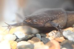 Volcano clawed frog Royalty Free Stock Photos