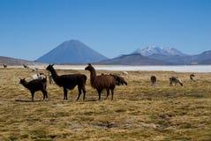 Volcano El Misti and volcano Nevado Chachani. Laguna Salinas Blanca and volcano El Misti and volcano Nevado Chachani at the Altiplano in South Peru Royalty Free Stock Image