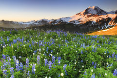 Volcano and flowers. Sunrise over a valley of beautiful flowers with a snowy mountain peak in the distance Royalty Free Stock Photos