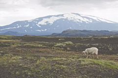 Volcano Hekla and iceland sheeps Royalty Free Stock Photography