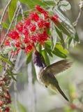 Volcano Hummingbird Imágenes de archivo libres de regalías