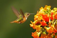 Volcano Hummingbird, animal no habitat da natureza, floresta tropical da montanha, animais selvagens de Costa Rica Flores cor-de- imagens de stock