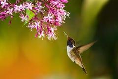 Volcano Hummingbird, asomando al lado de la flor rosada en jardín, pájaro del bosque tropical de la montaña, Savegre, Costa Rica imagen de archivo libre de regalías
