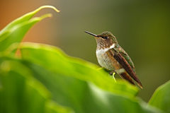 Volcano Hummingbird, flammula de Selasphorus, pássaro pequeno nas folhas verdes, animal no habitat da natureza, floresta tropica  fotos de stock royalty free