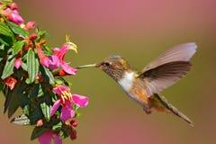 Volcano Hummingbird, flores cor-de-rosa animais com pássaro no habitat da natureza, floresta tropical da montanha, animais selvag imagens de stock