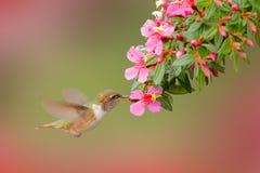 Volcano Hummingbird, flores cor-de-rosa animais com pássaro no habitat da natureza, floresta tropical da montanha, animais selvag imagem de stock