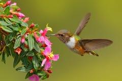 Volcano Hummingbird, flores cor-de-rosa animais com pássaro no habitat da natureza, floresta tropical da montanha, animais selvag fotografia de stock