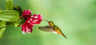 Volcano Hummingbird Royalty Free Stock Images