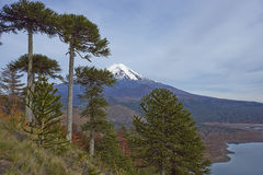 Volcano Llaima in Conguillio National Park, Chile. Snow capped peak of Volcano Llaima 3125 meters in Conguillio National Park in southern Chile. Araucania Trees Stock Image