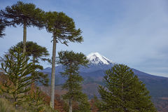 Volcano Llaima in Conguillio National Park, Chile. Snow capped peak of Volcano Llaima 3125 meters in Conguillio National Park in southern Chile. Araucania Trees Royalty Free Stock Photo