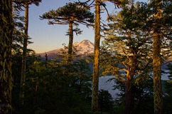 Volcano thru the Araucaria trees. Sunrise on Volcano Llaima seen thru Araucaria trees Stock Photos