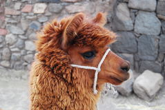Lama  Royalty Free Stock Images