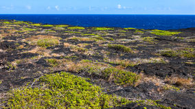 Volcanoes National Park Coast. Patches of grass on old lava flow in Volcanoes Nationa Park, Hawaii Big Island Royalty Free Stock Images