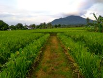 Volcanoes pulosari. Looks beautiful on the edge of rice fields will be ready to be harvested Stock Images