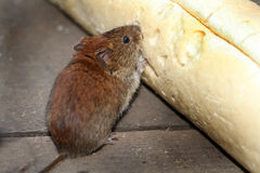 Vole eating bread. Royalty Free Stock Photo