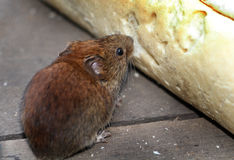 Vole eating bread. Stock Photo
