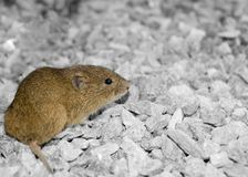 Vole on gravel Stock Photography