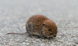 Vole (Microtus arvalis) Stock Photography