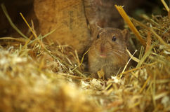 Vole Stock Images