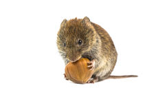 Vole trying to open hazelnut Stock Photos