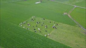 Voler au-dessus d'un pâturage avec des vaches laitières banque de vidéos
