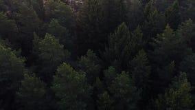 Voler au-dessus d'un vaste pin vert luxuriant et dessus impeccables d'arbre dans la for?t banque de vidéos