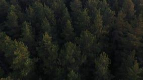 Voler au-dessus d'un vaste pin vert luxuriant et dessus impeccables d'arbre dans la for?t clips vidéos