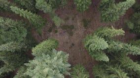 Voler au-dessus d'un vaste pin vert luxuriant et dessus impeccables d'arbre dans la vue aérienne de forêt clips vidéos
