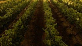 Voler au-dessus d'un vignoble dans le coucher du soleil au Chili clips vidéos