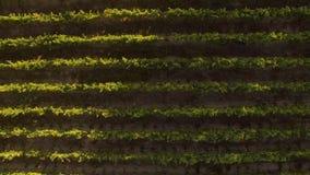 Voler au-dessus d'un vignoble dans le coucher du soleil au Chili banque de vidéos