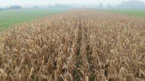 Voler au-dessus des tiges de maïs à une ferme pendant un matin brumeux tôt d'automne banque de vidéos