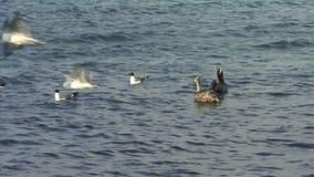 Voler d'oiseaux de mer banque de vidéos