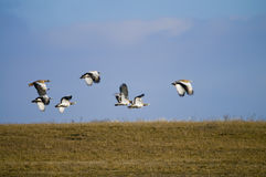 Voler de Bustards Photographie stock libre de droits