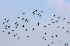Voler de canards en bois Photographie stock libre de droits