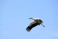 Voler de cigogne blanche extérieur contre le ciel Images libres de droits