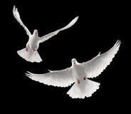Voler de colombes Photos libres de droits