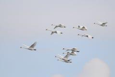 Voler de cygnes muets photos libres de droits