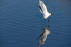 Voler de mouettes Image libre de droits