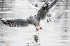 Voler de mouettes Photographie stock libre de droits