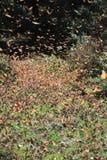 Voler de papillons de monarque Images libres de droits