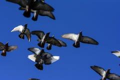 Voler de pigeons Images libres de droits