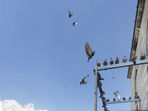 Voler de pigeons Image libre de droits