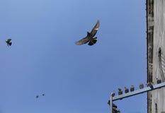 Voler de pigeons Photo stock